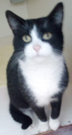 Tuxedo cat with white front paws looking at the camera