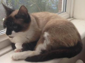 Cassie, beige and white with black head and tail and white paws, curled up in the window in the sun