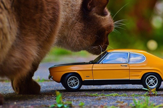 Very large cat inspects very small car