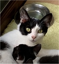 Head of white and black cat looking at the camera while one of her kittens suckles.
