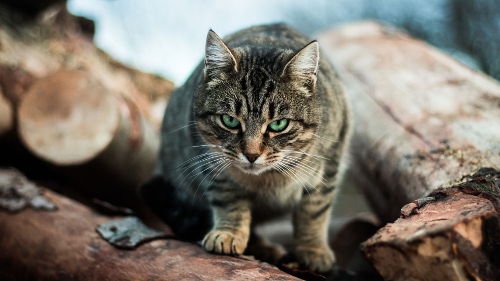 picture of feral cat on logs