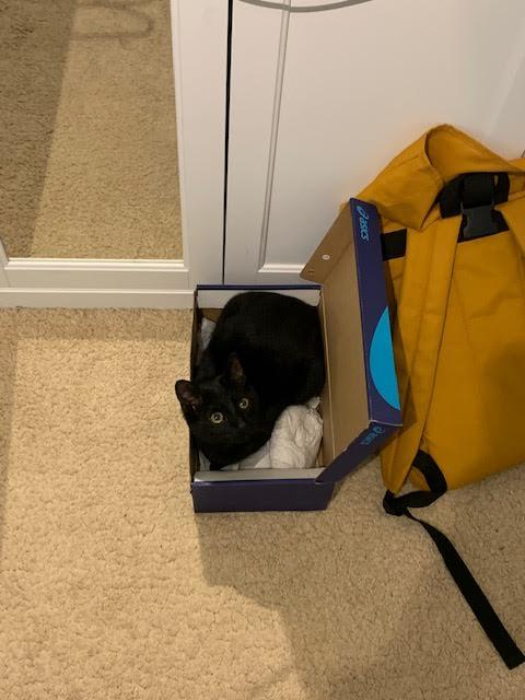 Black cat Leo in a shoebox