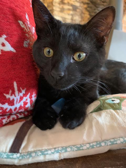 Black cat Leo on a cushion